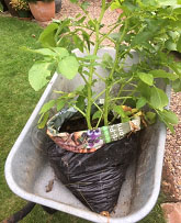 Potato plant growing in compost bag