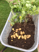 Potatoes from compost bag