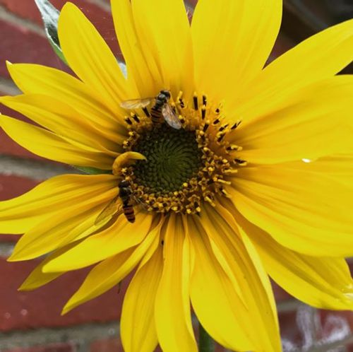 Sunflower flowering with hoverflies